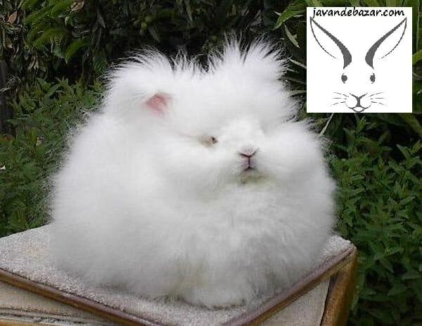 خرگوش آنقوره