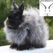 خرگوش جرسی