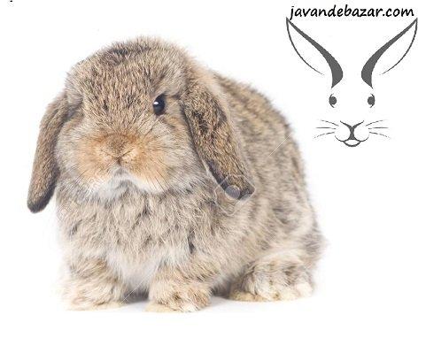 خرگوش مینی لوپ