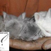 خرگوش مینیاتوری