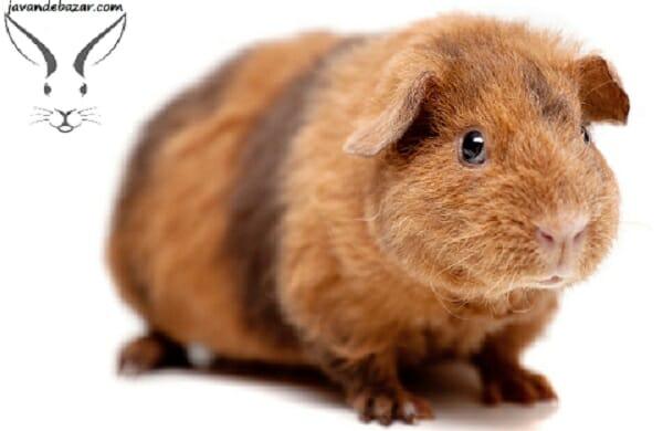 خوکچه هندی تدی
