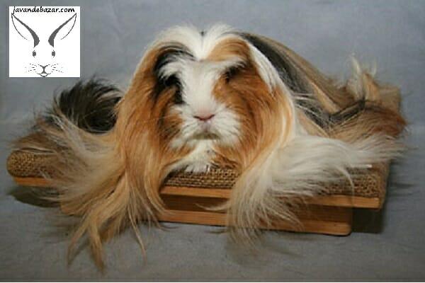 خوکچه هندی ابریشمی مو بلند