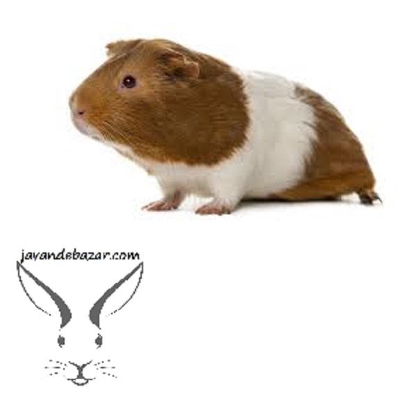 خوکچه هندی آمریکایی