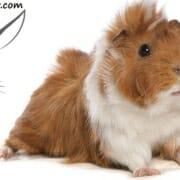 نژاد خوکچه هندی