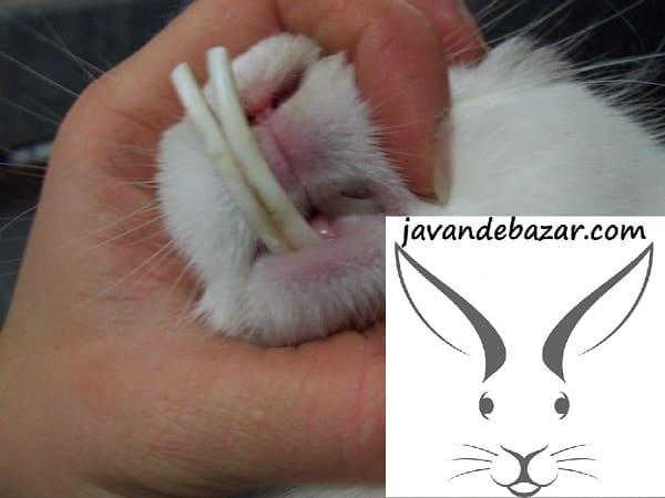 دندان خرگوش جونده