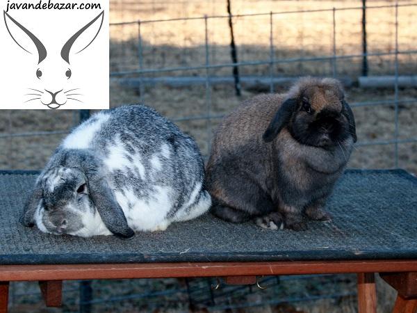 نژاد های خرگوش