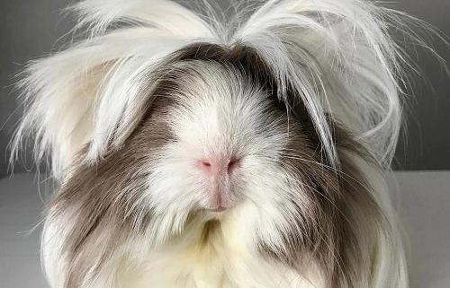 خوکچه-هندی