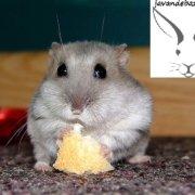 تغذیه همستر