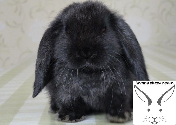 خرگوش بلو