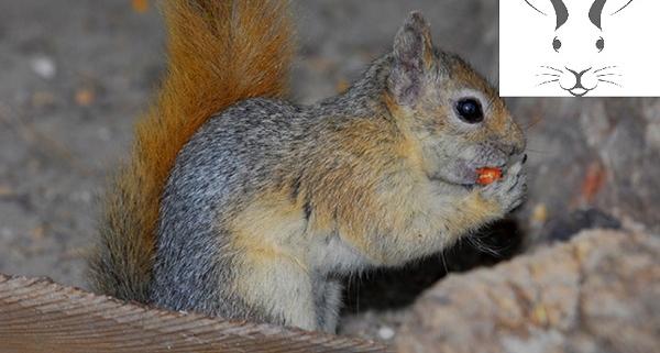 سنجاب ایرانی بیماری مشترک سنجاب و انسان