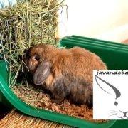 علوفه خرگوش