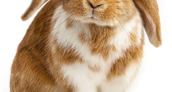 تکثیر خرگوش لوپ