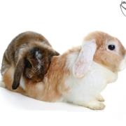 جفت گیری خرگوش