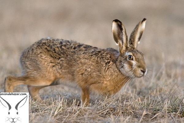 خرگوش صحرایی