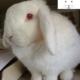 خرگوش آلبینو