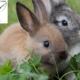 خرگوش شوم