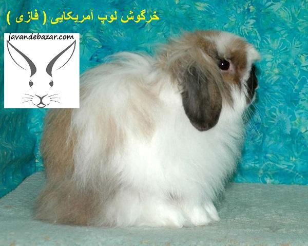 خرگوش لوپ آمریکایی فازی