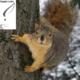 سنجاب آمریکایی