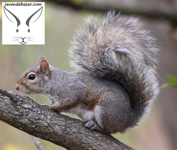 سنجاب کانادایی خاکستری شرقی