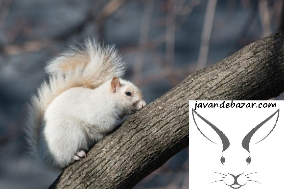 سنجاب کانادایی آلبینو