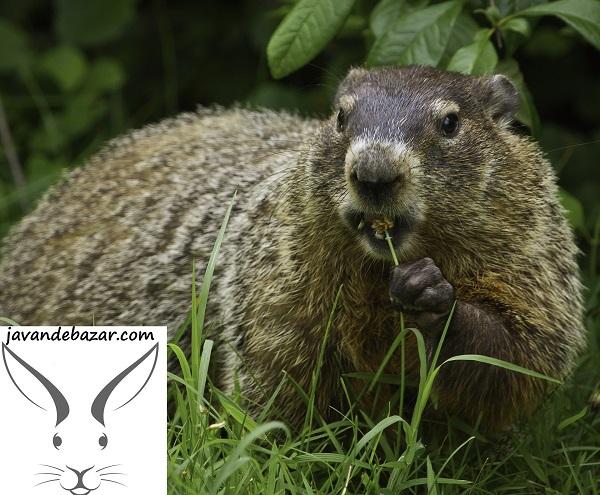 سنجاب کانادایی خوک صوت زن