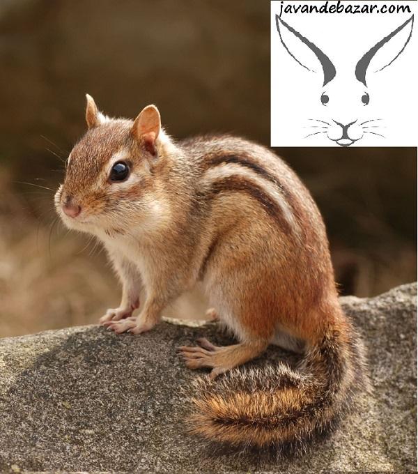 سنجاب کانادایی چیپ مانک