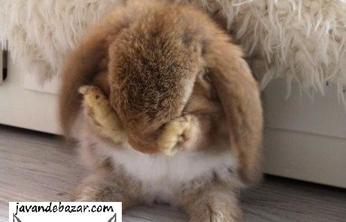 بی حالی خرگوش
