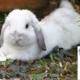 خرگوش لوپ اصیل