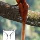 سنجاب پرنده غول پیکر قرمز