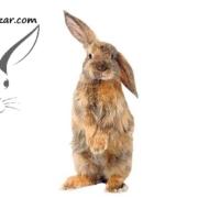سیخ ماندن گوش خرگوش