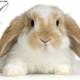 نشانه خرگوش سالم