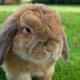 پرورش خرگوش لوپ