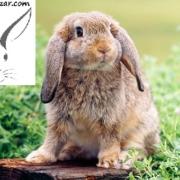 چگونه خرگوش لوپ بخریم